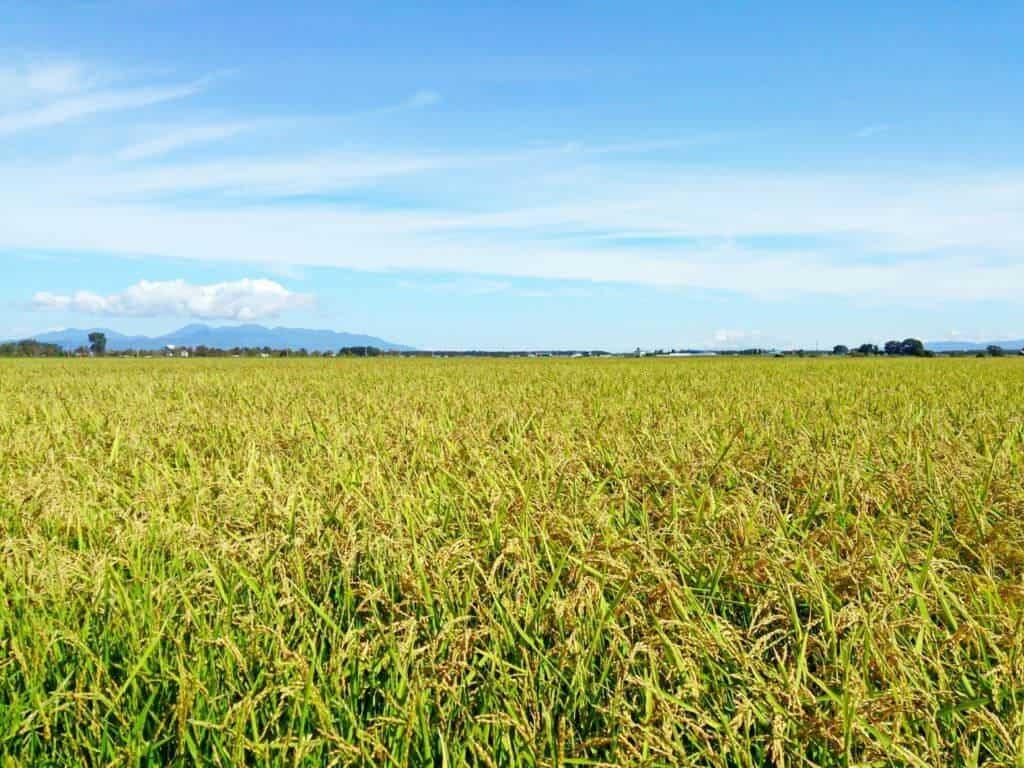 Japanische Küche: Reisanbau auf japanischen Felder findet über das ganze Jahr hinweg statt.
