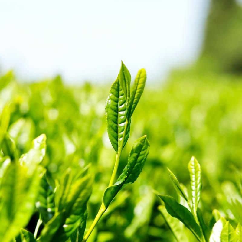 Japanische Grünteepflanze