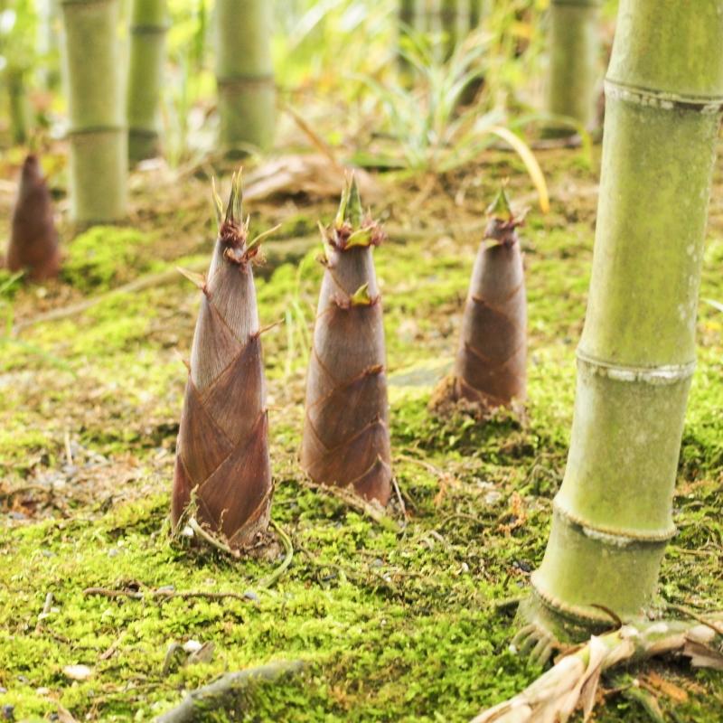 Zu sehen sind frische Bambussprossen.